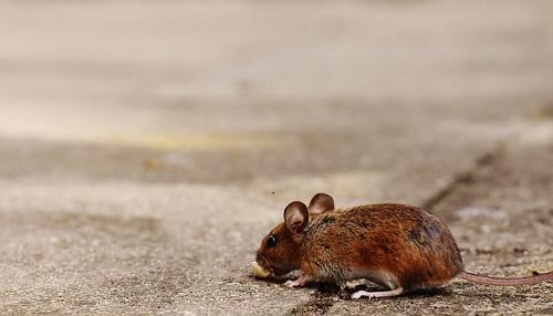 ハクビシン ネズミ 食べる